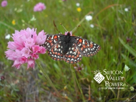 Checkerspot Butterfly with SVP Logo
